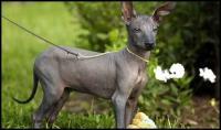 cane nudo argentino