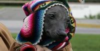 cane nudo peruviano