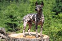 cane terrier americano senza pelo