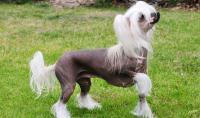 cane nudo cinese