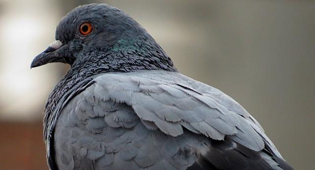 piccione viaggiatore
