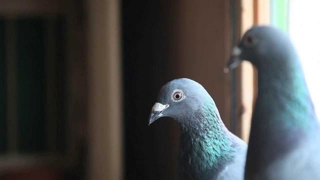 piccione viaggiatore belga