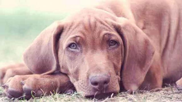 Foto Vermi nel cane: quali sono