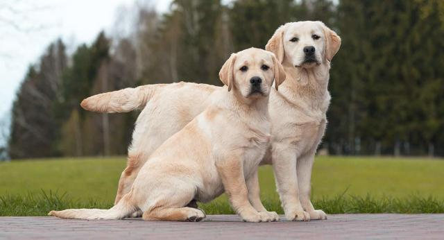 mestruazioni del cane