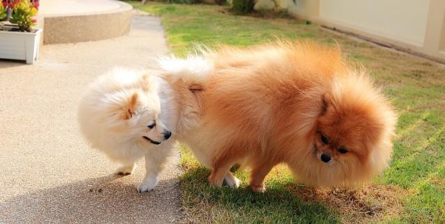cani in calore