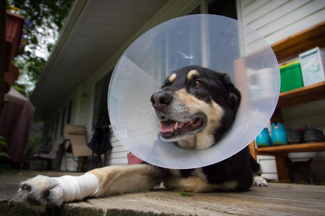 Foto Cos'è il collare elisabettiano per cani e come funziona?