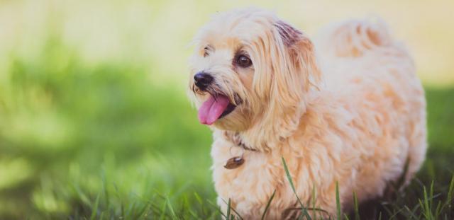 trattamento antipulci cane