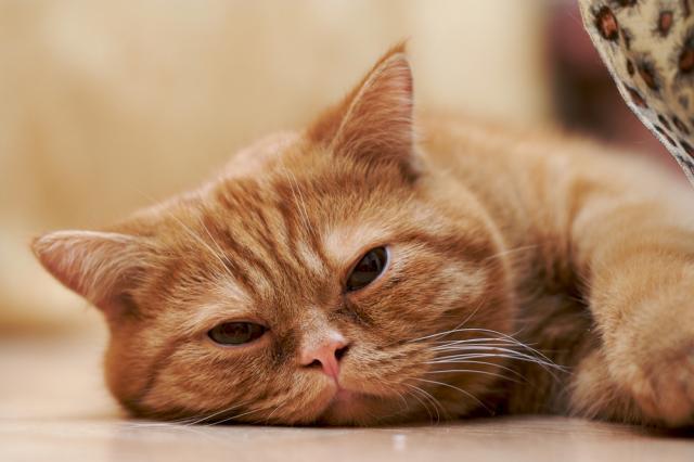 Foto Il Gatto vomita sangue, cause e cure