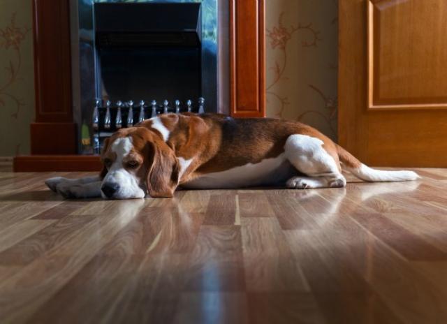 Foto Proteine nelle urine del cane: cause e trattamento