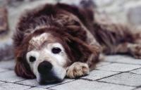 quanto vive cane
