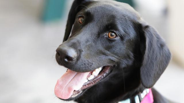 Foto Melanoma nel cane: sintomi e cure