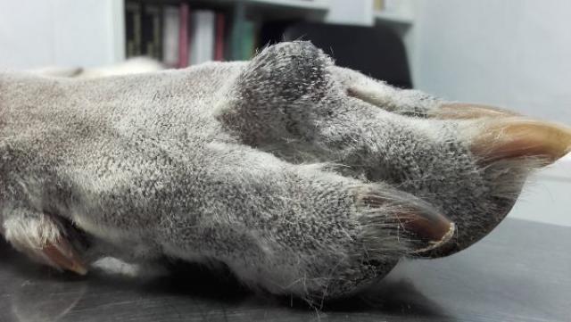 melanoma nel cane
