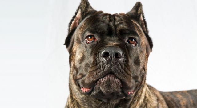 Foto Il cane Corso: origine, carattere e cura