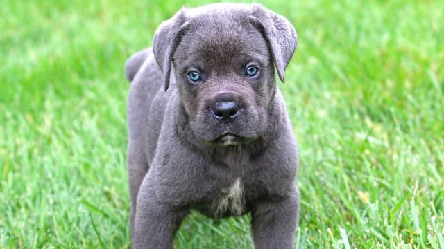 cucciolo cane corso