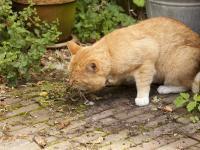 Foto Il Gatto vomita giallo: cause e trattamento
