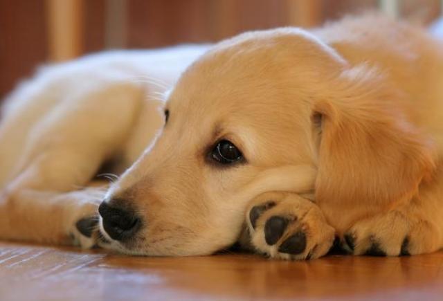 Foto Perchè il mio cane piange?