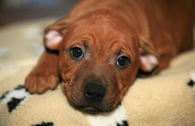 Foto Cimurro cane: sintomi, trattamento, prevenzione e trasmissione