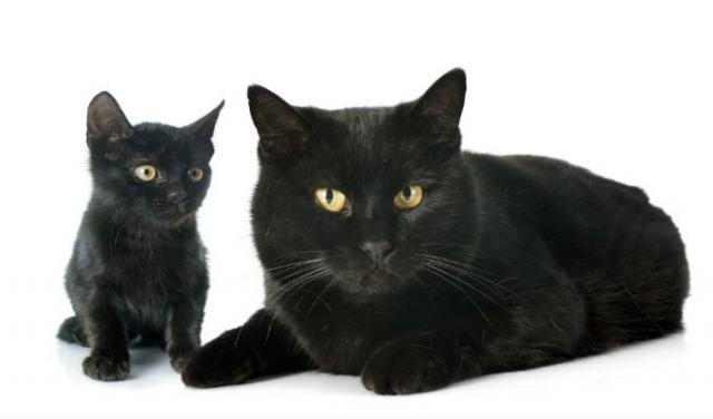 Gatto Nero Razze E Simbologia Mondopetsit