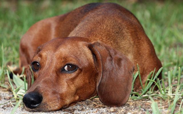 cane bassotto