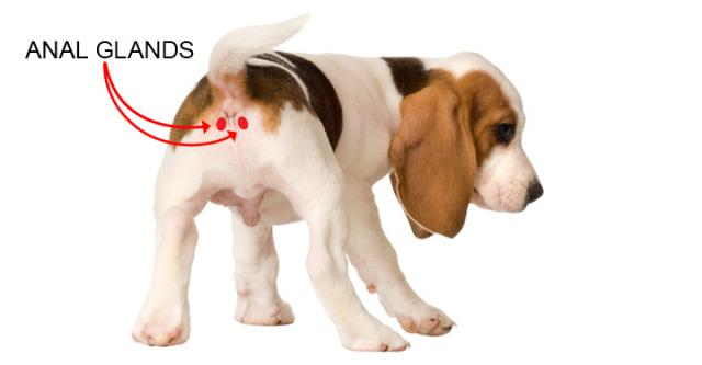 posizione ghiandole anali cane