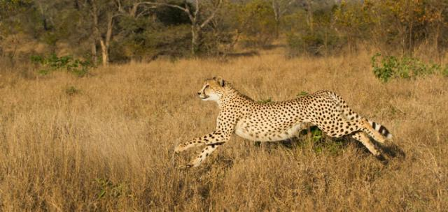 ghepardo durante la caccia