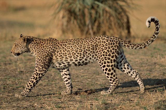coda del leopardo