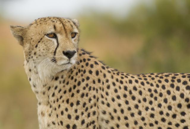 colore del ghepardo