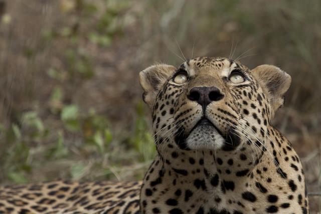 viso del leopardo