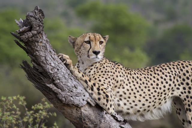 artigli ghepardo