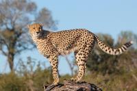 coda del ghepardo