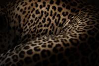 colore del leopardo