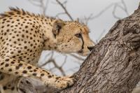 viso del ghepardo