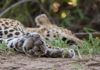 artigli leopardo
