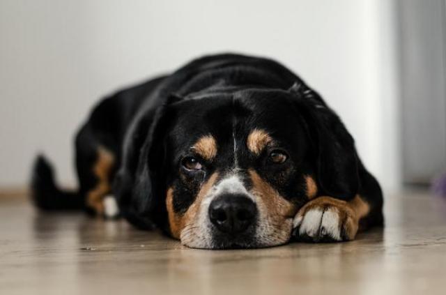 Foto Infezione intestinale cane: cause e trattamento