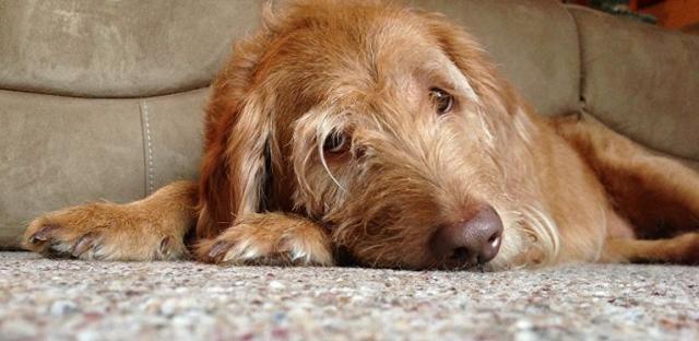 infezione intestinale cane