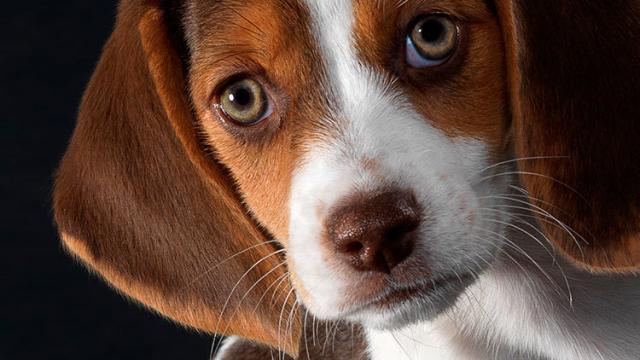 Foto Malattie agli occhi nel Cane