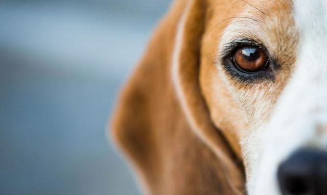 malattie occhi cane