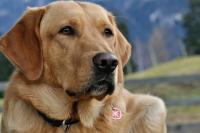 Foto Tumore dell'occhio nel cane: sintomi e cure