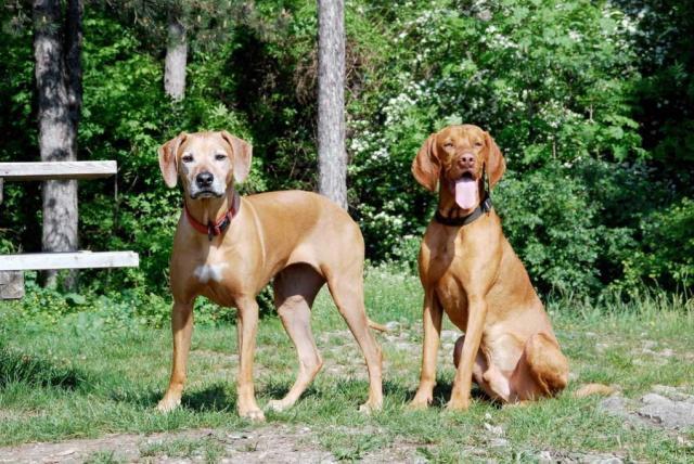 Foto Accoppiamento cani: quando e come fare accoppiare il cane