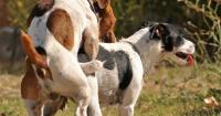accoppiamento cane