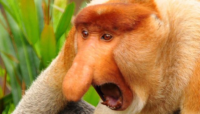 Scimmia con la proboscide