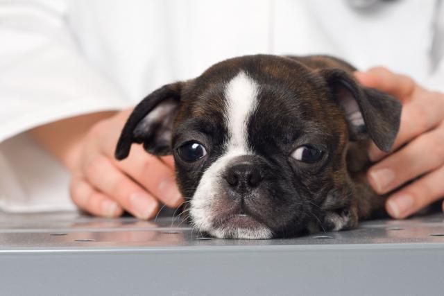 Foto 6 Malattie del cucciolo: sintomi e trattamento