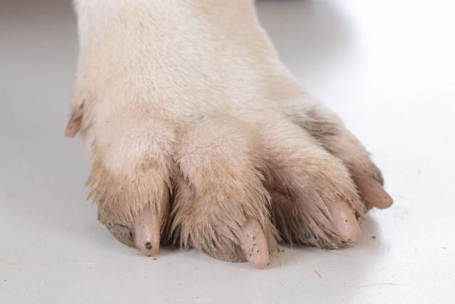 Foto Infezione unghia cane: cause e trattamento
