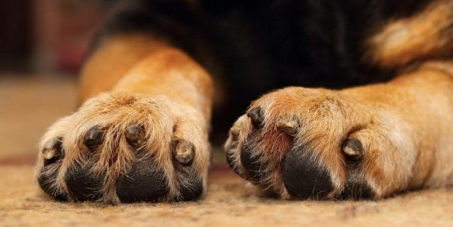 infezione unghia cane