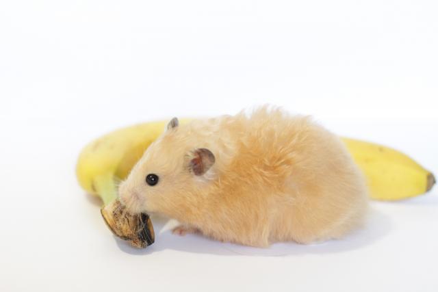 Foto Il Criceto può mangiare banane?