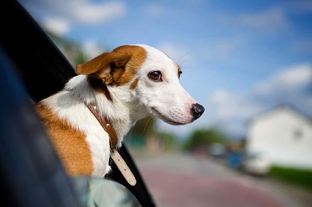 Foto Cane soffre mal d'auto: cinetosi del cane
