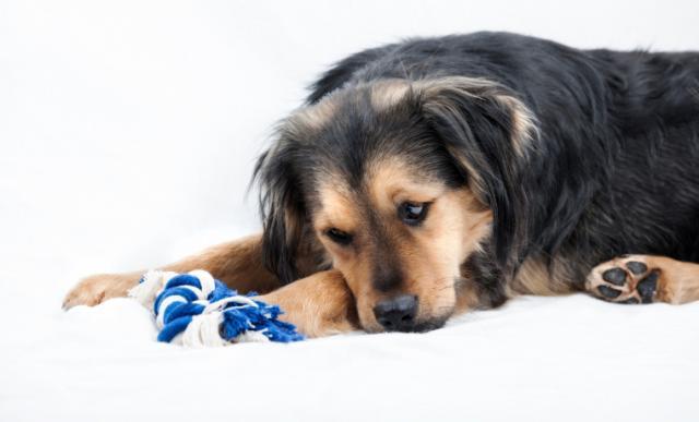 Foto Il cane ha problemi di stomaco? Le cause