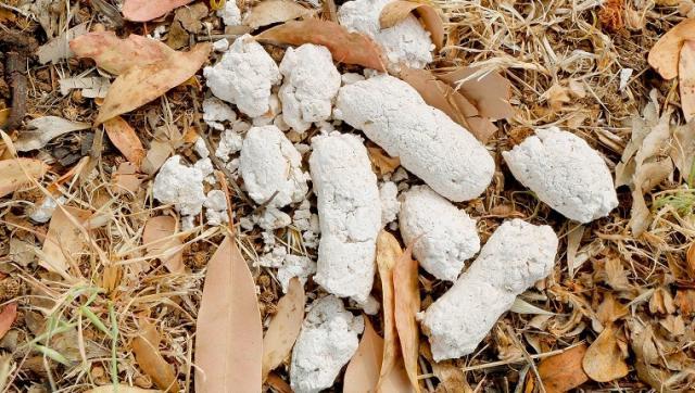 Foto Feci bianche nel cane: cause e trattamento