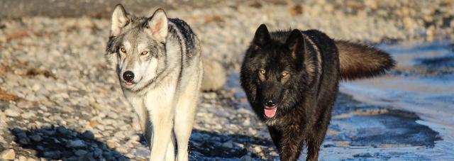wolfdog americano