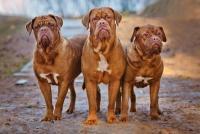 Foto 12 Cani con il morso più forte